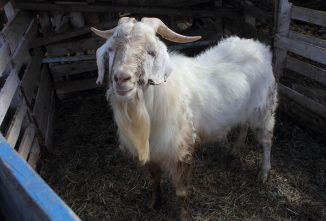 Preventing and Treating Coccidiosis in Goats